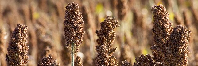 Le millet..consommation mondiale