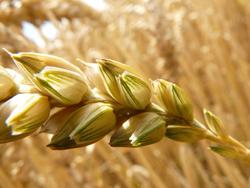 Graine de blé - Gluten